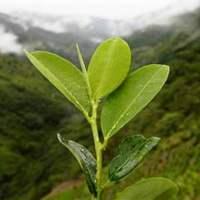 Bolivia ha comenzado la industrialización de la hoja de coca con fines medicinales